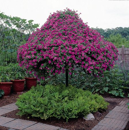 17 best images about wave petunias on pinterest trees - Wave petunias in containers ...