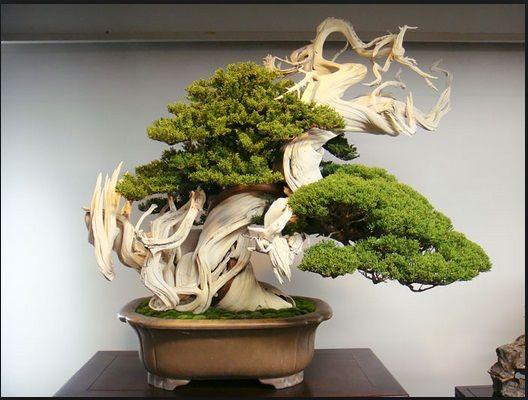 jual bonsai olx