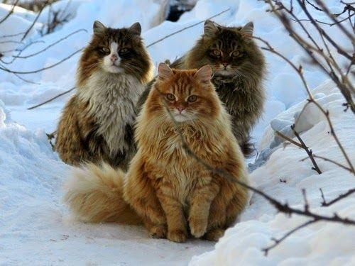 O Norwegian Forest, ou Norueguês da Floresta é um gato nativo da região norte da Europa. Atualmente, a raça de gato Norueguês da Floresta, é muito popular na Noruega, na Suécia e também na França. ...