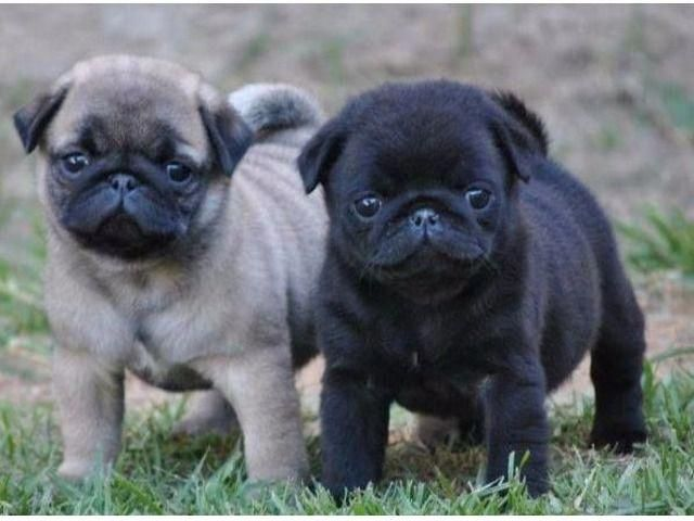 Precious Male And Female Pug Puppies Pugpuppies Baby Pugs Pug