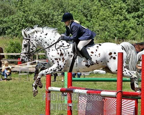 Appaloosa stallion show jumping. I loooove this horse!!