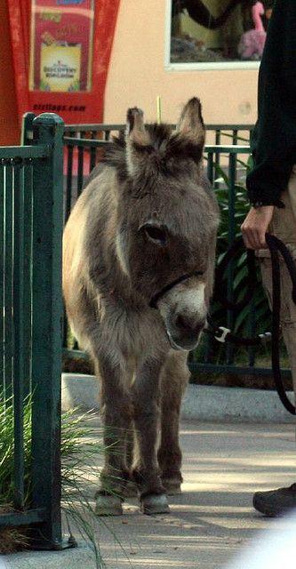 Scicilian Donkey.     Credit: Just Chaos Photography. Courtesy: Jean, Palo Alto, CA (USA).