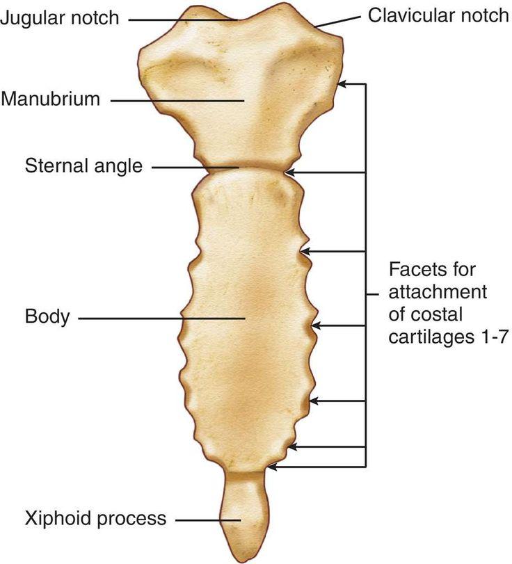 Suprasternal Notch Anatomy