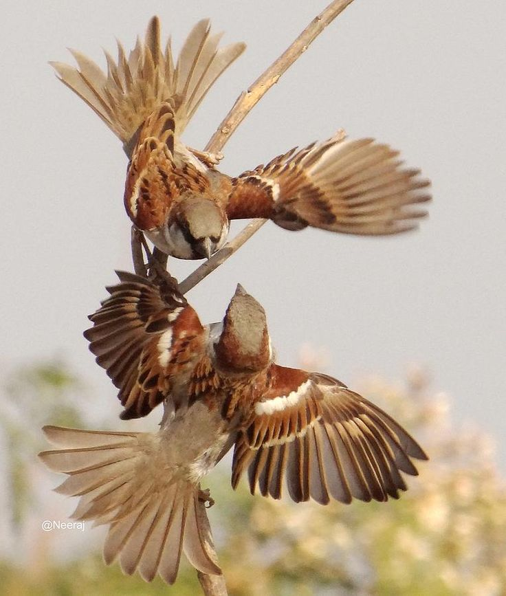 House Sparrow by Neeraj Vegad                                                                                                                                                                                 More