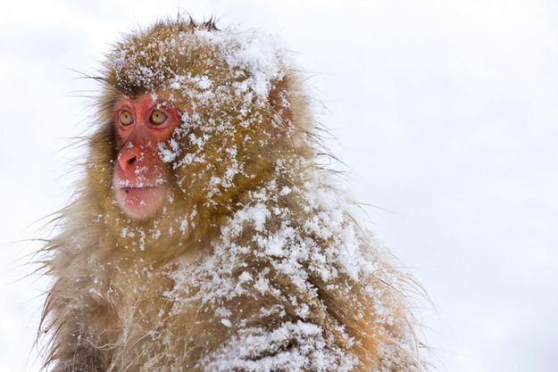 Step 1: Be a monkey. Preferably some kind of snow monkey. This one's a Japanese Macaque. He'll do.
