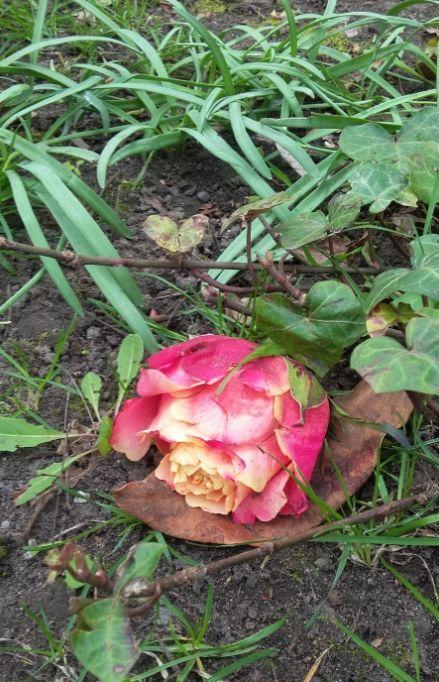 gebrochene Rose, Melaten - Foto: S. Hopp