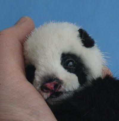 .Baby Panda Bear