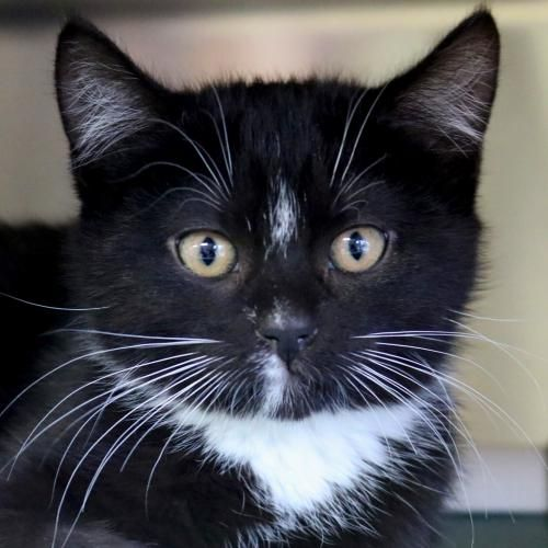 Hi I M Dip I M A 2 Month Old Spayed Female Black And White Domestic Short Hair Cat Adoption Animals Cats And Kittens