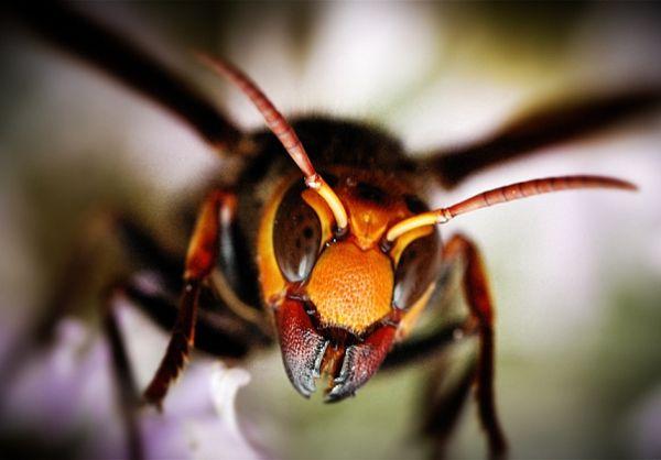 Giant Japanese or Asian Hornet