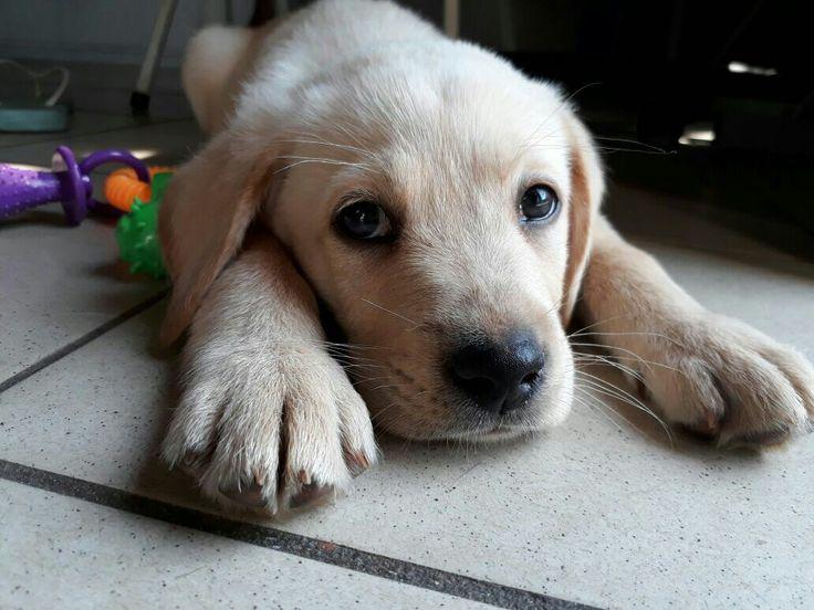 Labradore puppy#♡so cute