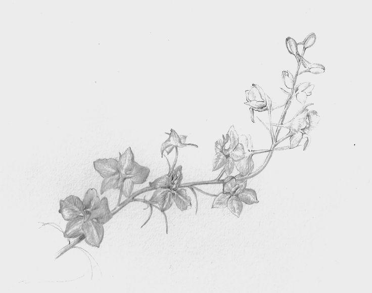 july Birth Flower Drawing   Larkspur Flower Drawing