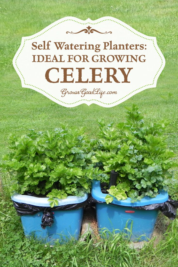 Self-watering planters provide the perfect environment for growing celery by maintaining a steady supply of water, a consistent amount of nutrients, and no weeds to compete with. In addition, once planted the only care it requires is topping off the water reservoir when needed. | Grow a Good Life