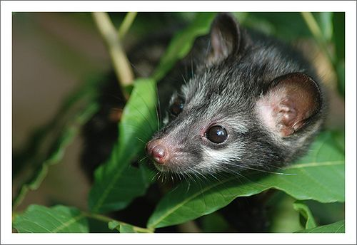 https://flic.kr/p/488yLh | Asian Palm Civet (young) 3 | Katubedda, Sri Lanka.
