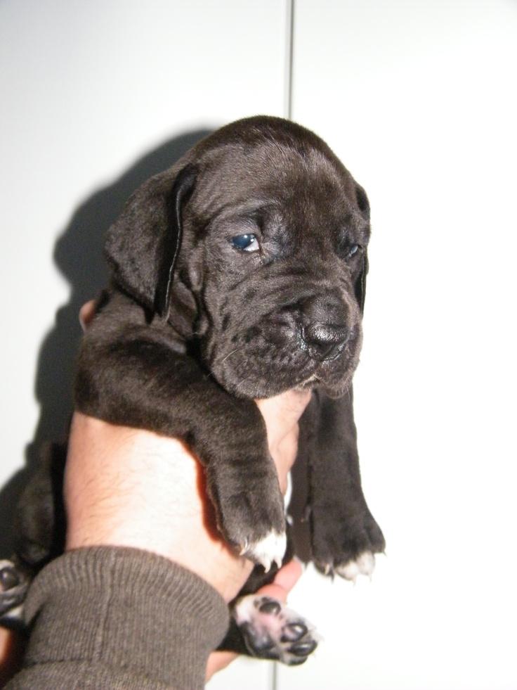 Black great dane puppy  http://www.facebook.com/Paris.Dakardacasadotorrao