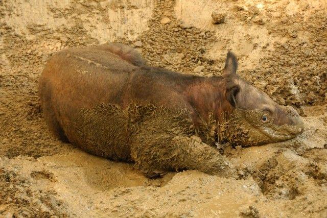 Sumatran Rhinoceros | Sumatran Rhinoceros