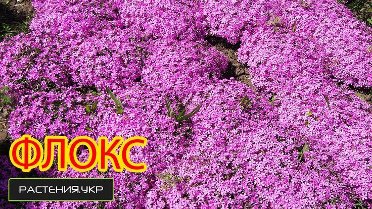 Цветочный розовый ковёр или Флокс шиловидный / флоксы уход и выращивание...
