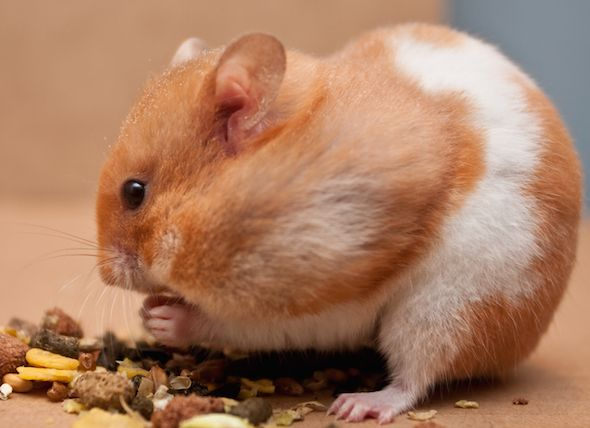 How Much does a Hamster Cost?