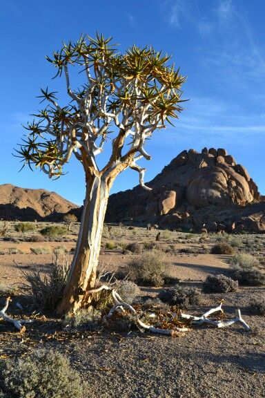 #quiver tree #namibia #photography # richtersveld