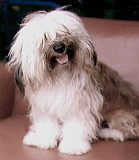 If you want a little friend with an endless store of happy energy, the Havanese may be the pooch for you. A compact Havanese can weigh as little as 7 pounds, with the largest Havanese tapping out at 13 pounds.