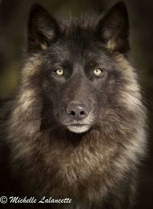 Wolves!! Love 'em. I have a heart full of animal love, especially endangered or…