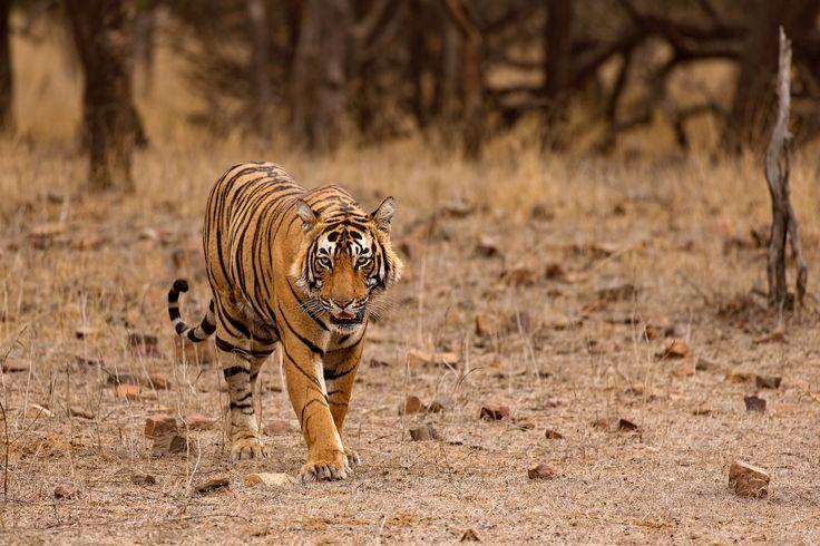 Cat walk - Tiger nicknamed pacman in Ranthambhore's dry summer days.