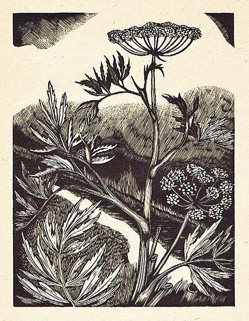 John Nash (British, 1893-1977). Water Hemlock Cowbane / Cicuta Virosa Umbelliferae. 1927. (wood engraving)