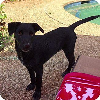 Octavia   Nashville, TN - Labrador Retriever/Golden Retriever Mix. Meet #Octavia a puppy for adoption. #BluesCityAnimalRescue http://www.adoptapet.com/pet/17013598-nashville-tennessee-labrador-retriever-mix