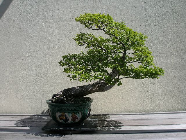 RK:Chinese Elm Bonsai | Flickr - Photo Sharing!