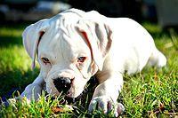Cachorro de bóxer blanco