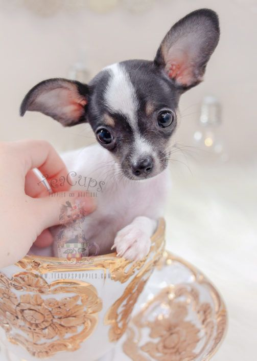 Chihuahua Puppy For Sale 307 Teacup Puppies Pug Puppies For Sale Pug Puppies Puppies For Sale