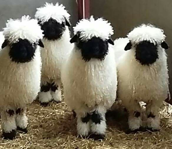 Vialis Blacknose Sheep