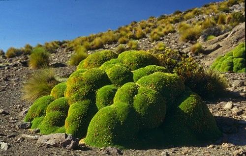 Llareta (Azorella compacta)