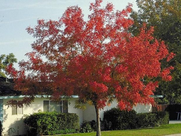 Chinese pistachio (Pistacia chinensis) is a good choice for brilliant fall color in areas where the sugar maple won't grow. The leaves are slow to appear in the spring but hang on late in the fall,