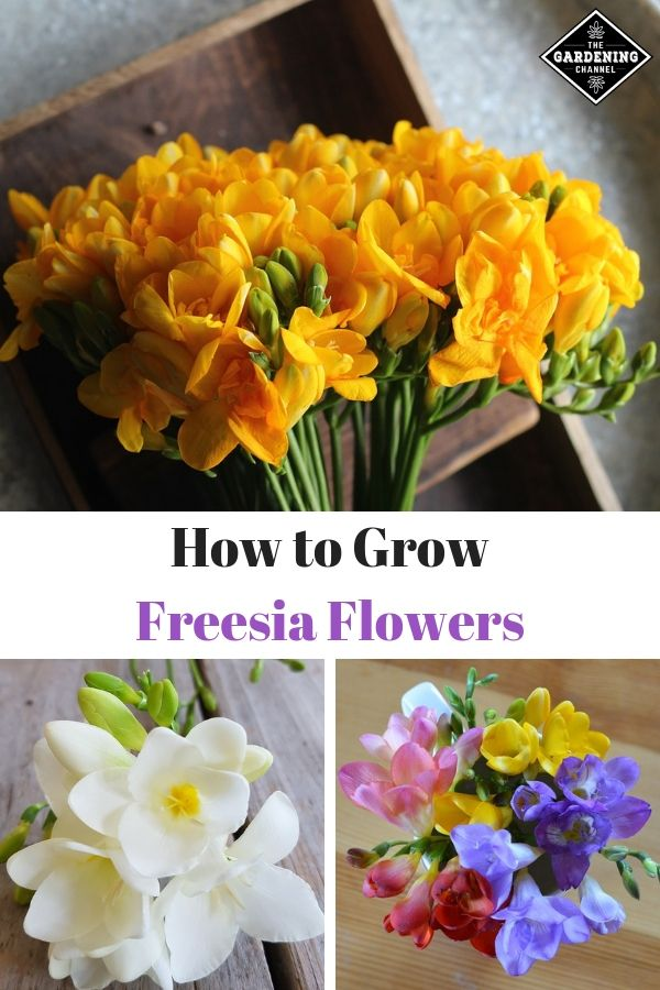 How To Grow Freesia Flowers Gardening Channel Freesia Flowers Planting Bulbs Flower Garden Care