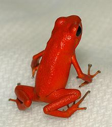 strawberry poison frog or strawberry poison-dart frog (Oophaga pumilio or Dendrobates pumilio)