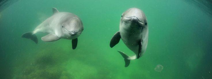 Pacific Ocean - porpoise © Solvin Zankl WWF