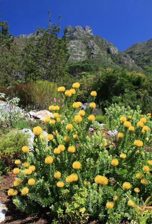 Indigenous Fynbos, grows ONLY in the Cape-SA