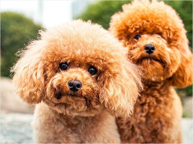 78 Best Images About Poodle On Pinterest Colleges