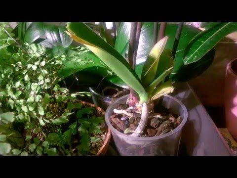 Лечение уцененной орхидеи - YouTube