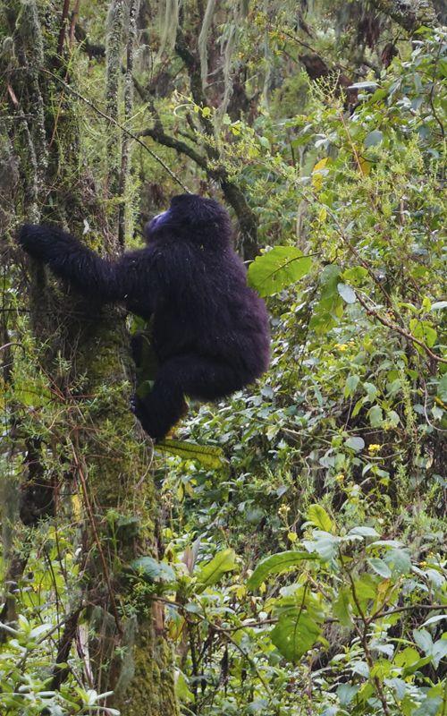 Gorillas trekking in Rwanda, an amazing experience! travel tips and much more in our website www.espressofiorentino.com Trekking con gorilas en Ruanda! una experiencia inigualable! Consejos de viaje y mucho más en nuestra página web! #Africa #Ruanda #Rwanda #gorilla #gorillas #gorilas #gorila #monkey #jungle #travel #tips #viajar