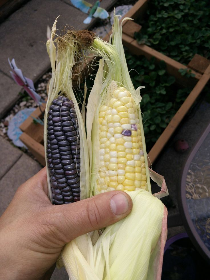 My blue jade and peaches & cream corn may be small but the kernels are the perfect size. #gardening #garden #gardens #DIY #landscaping #home #horticulture #flowers #gardenchat #roses #nature