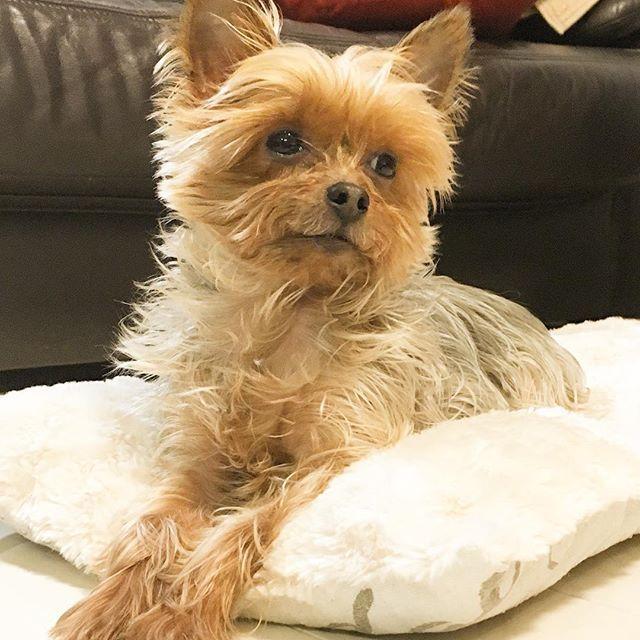 . そんな物憂げな表情して、どうしたモコw😆 . #物憂げ#セクシー目線#ヨークシャテリア#ヨーキー#愛犬#わんこ#ふわもこ部 #わんこなしでは生きていけません会 #yorkshireterrier #yorkies