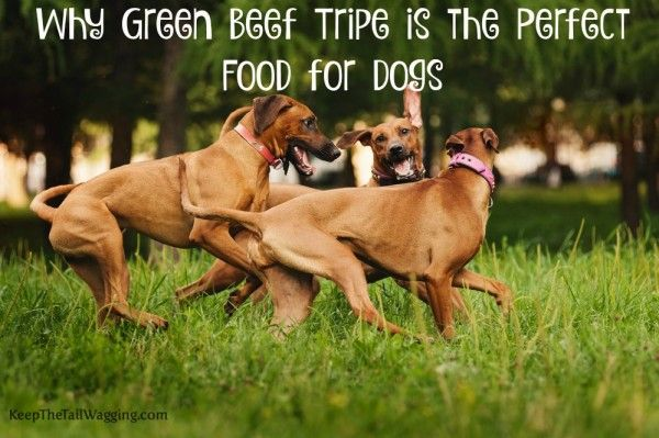 Why Green Beef Tripe is the Perfect Food for Dogs