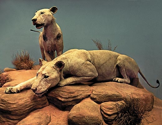 Man-eaters of Tsavo at Field Museum Chicago Illinois