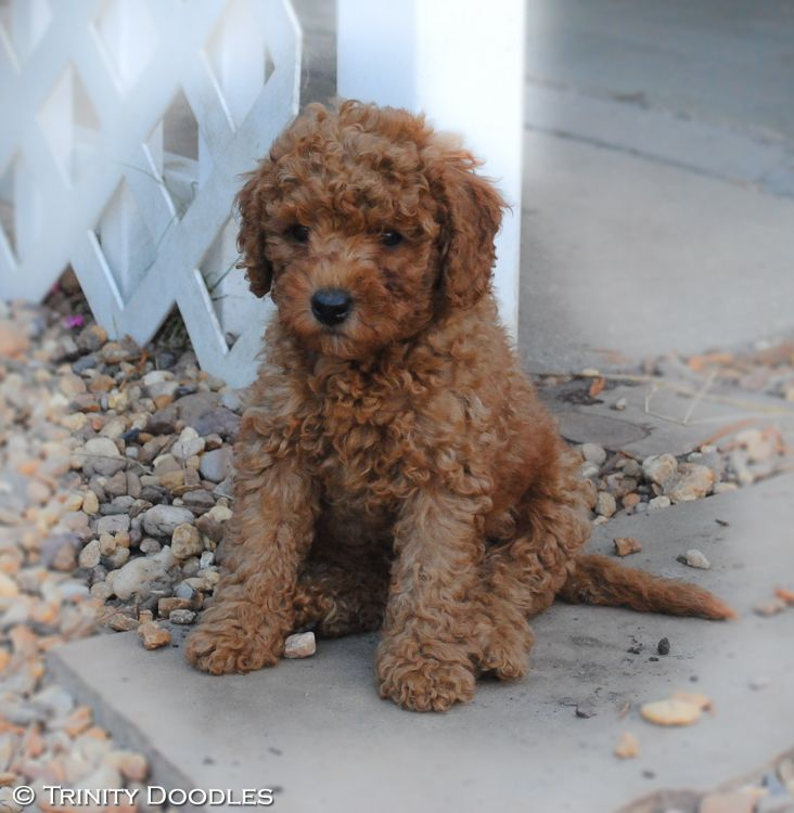 Oh So Cute Red Mini Australian Labradoodle At The Trinity