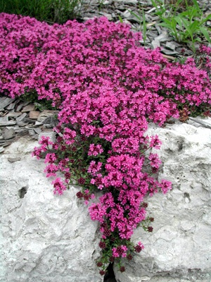 100 perennial flower groundcover seeds creeping thyme for Best low growing groundcover for full sun