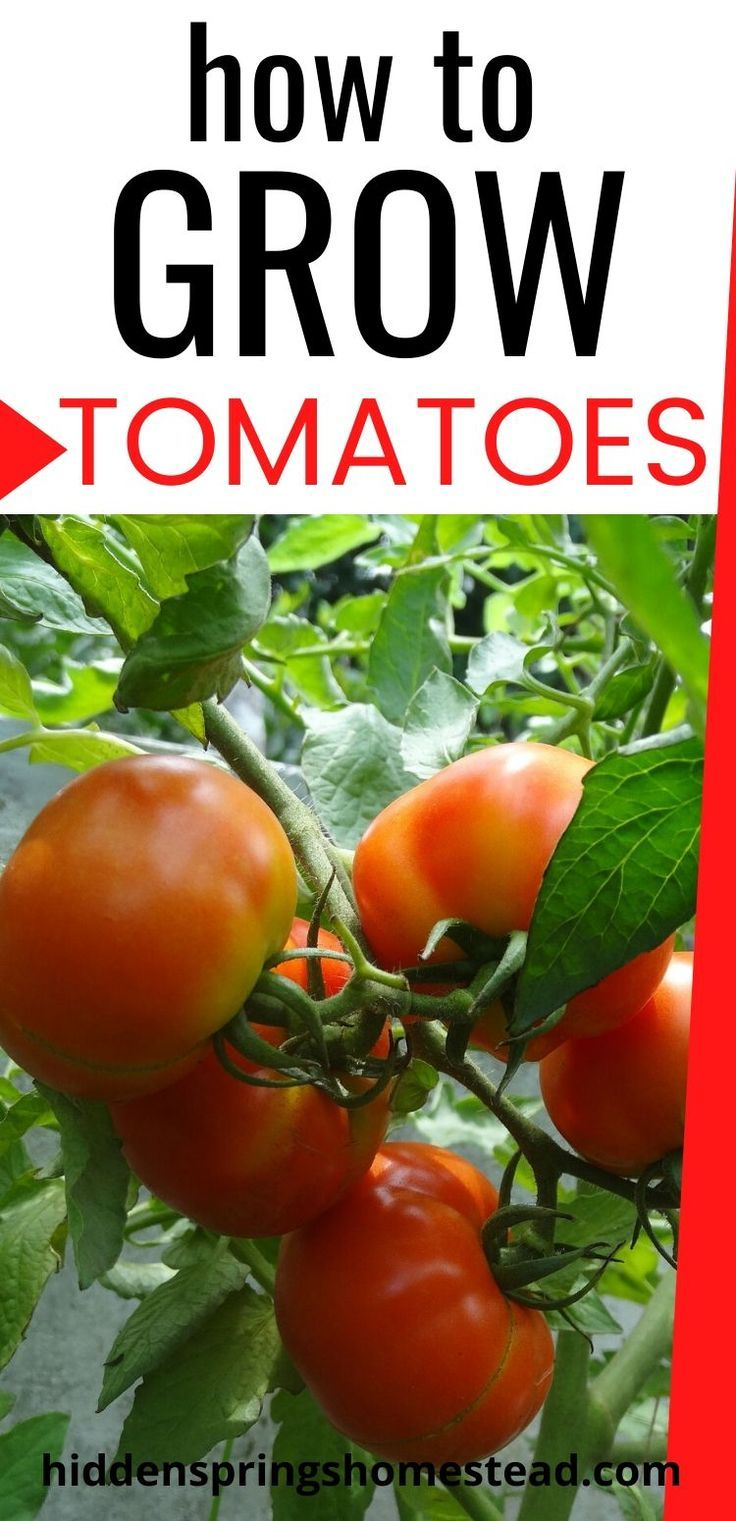 How To Grow Healthy Tomatoes Growing Tomatoes Growing Tomatoes From Seed Growing Vegetables
