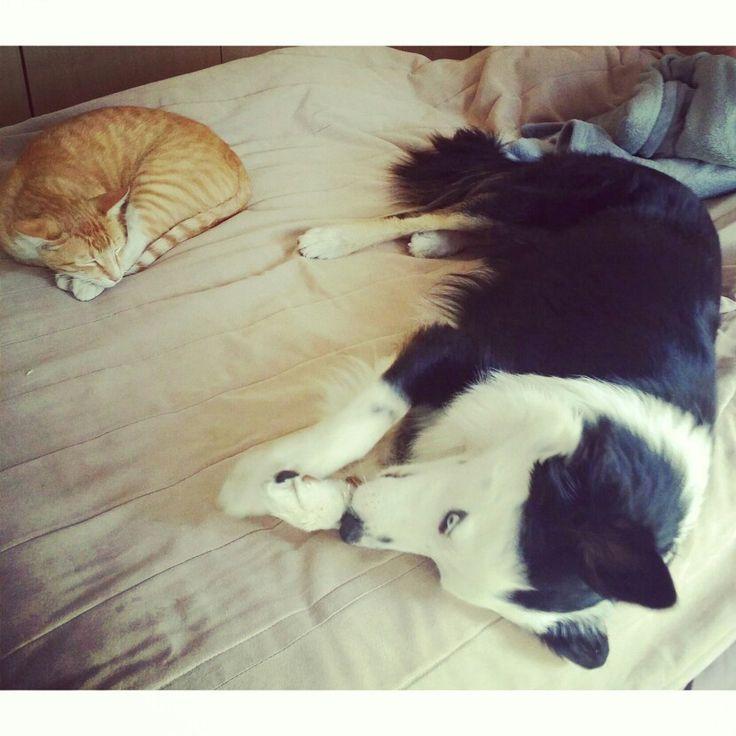 Sleep time Animals, Collie,