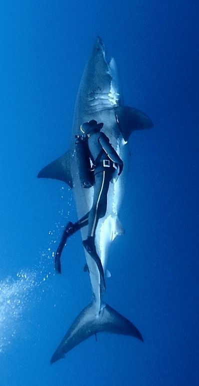 Huge Great white