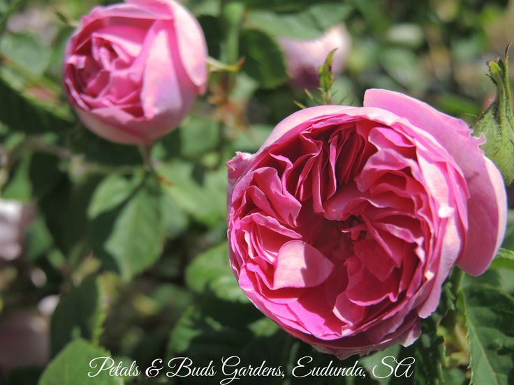 The beautiful and shapely  'Bourbon Queen' once flowering Bourbon rose. From my garden last spring.